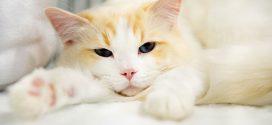 Brasil registra primeiro caso confirmado de covid-19 em gato; Outros dois animais estão sob suspeitas