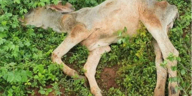 Dono de fazenda some e deixa gado morrer de fome em São Luiz do Norte