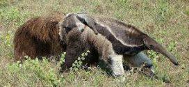 Homem morre após ser atacado por tamanduá durante pescaria em Cristalina