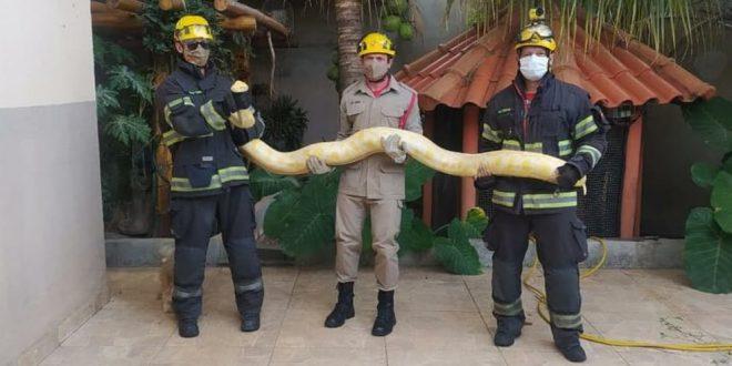 Cobra píton albina capturada dentro de casa pode ter sido traficada porque não tem microchip, diz Ibama